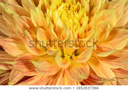 Young Purple Pink Dahlia Flower Bud Stock photo © stocker