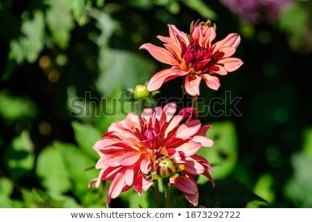 Jonge Rood dahlia bloem kiem geïsoleerd Stockfoto © stocker