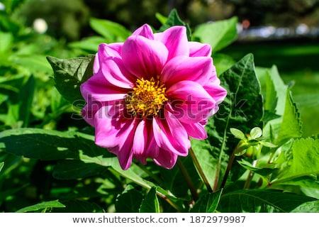 Jonge roze dahlia bloem kiem geïsoleerd Stockfoto © stocker