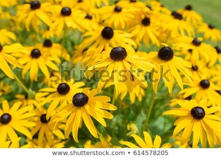 black eyed susan yellow rudbeckia flower Stock photo © stocker