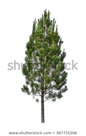Timber logs and tall spruce trees Stock photo © tainasohlman