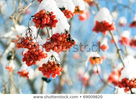 kış · beyaz · kırmızı · karpuzu · don · doğa - stok fotoğraf © ultrapro
