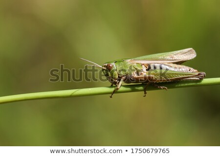 Green grasshopper  Stock photo © trala