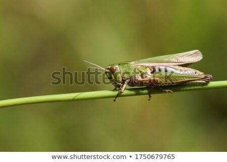 グラスホッパー · ショット · 昆虫 · 屋外 · 誰も - ストックフォト © trala