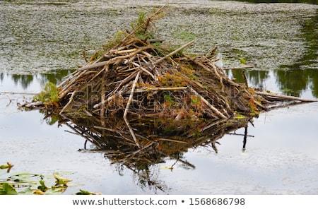 winter on beaver swamp stock photo © pixelsaway