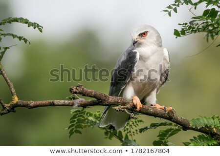 Stock photo: Black-winged kite