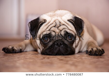 Stock foto: Cute Pug Dog Lying Resting On The Floor