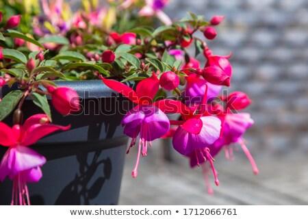 bokor · díszítő · kert · közelkép · virág · tavasz - stock fotó © julietphotography