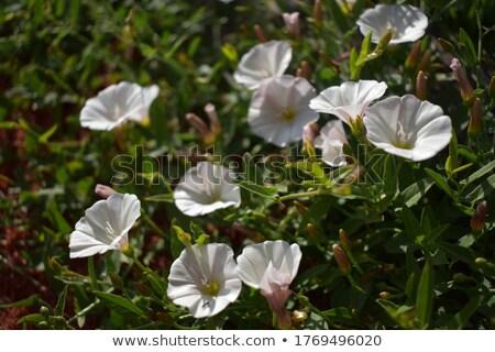 Rano chwała kwiaty vintage rodziny charakter Zdjęcia stock © sweetcrisis