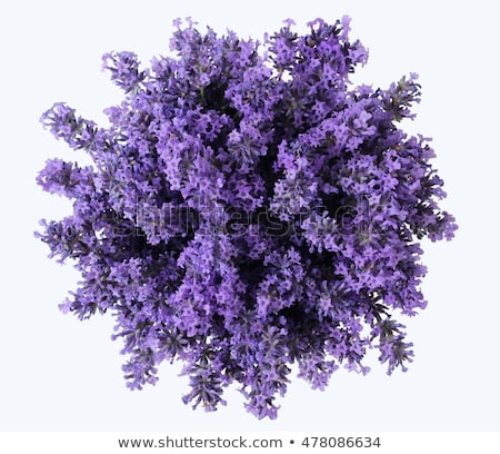 Bunch of lavender Stock photo © grafvision