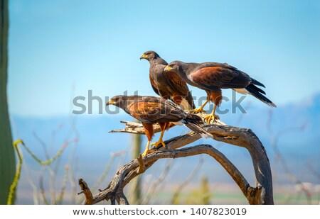 Halcón aire libre aves naturaleza Foto stock © rhamm