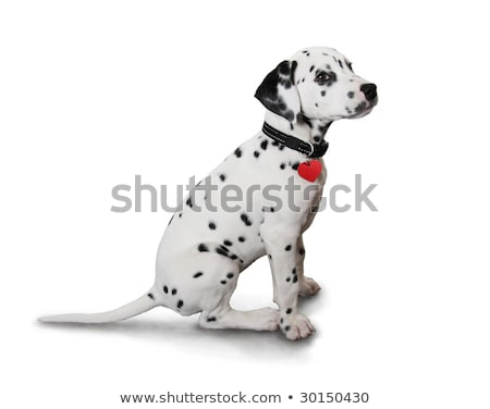 dalmatian puppy with heart stock photo © serebrov
