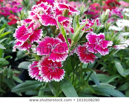 Sweet William Stock photo © joker