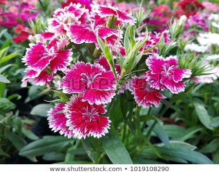 саду · цветок · Sweet · цветы · природы · фон - Сток-фото © joker