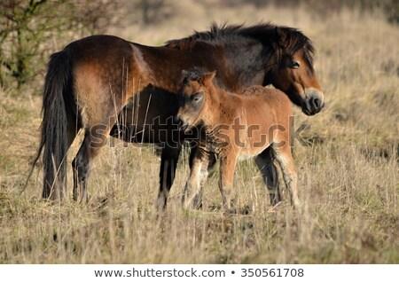 Póni ritka fajta vad ősi ló Stock fotó © chris2766