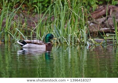 Masculin raţă râu pasăre lac oglindă Imagine de stoc © mariephoto