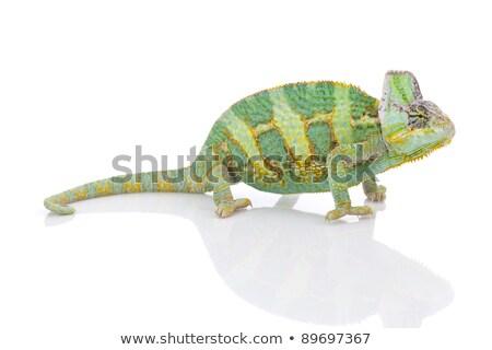 Belo grande camaleão sessão branco natureza Foto stock © zurijeta