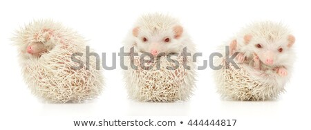Stock photo: white albino hedgehog trio in white studio