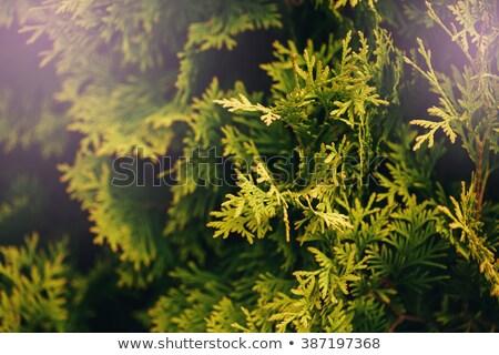 Fa zöld levelek közelkép természet tavasz háttér Stock fotó © dariazu