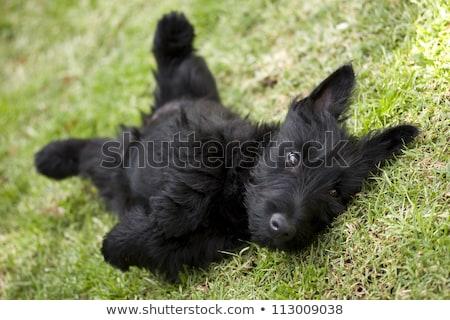 Terriër hondenras lopen baby ontwerp leuk Stockfoto © tigatelu