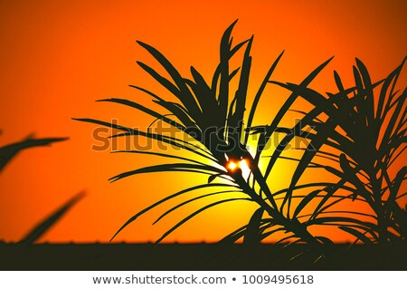 sunset behind the trees stock photo © kotenko