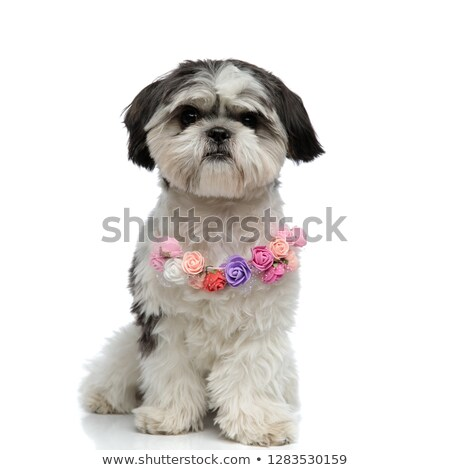 adorable shih tzu wearing colorful flowers collar sitting Stock photo © feedough