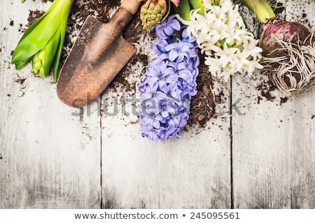 Hyacinth with shovel and flower bulbs over white Stock photo © Melnyk