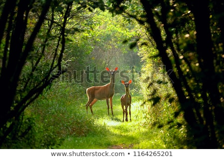 Whitetail Deer Doe And Fawn Stock photo © brm1949