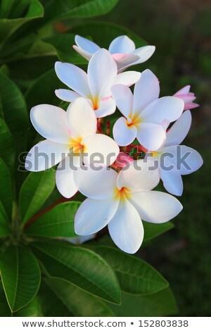 rainbow plumeria blossom Stock photo © smithore
