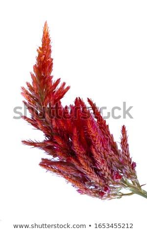 flor · belo · flor · amarela · lã · jardim · de · flores · jardim - foto stock © suerob
