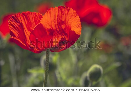 Klaprozen bloeien groene veld Rood bloem Stockfoto © justinb