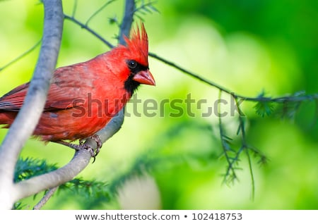 male northern cardinal profile stock photo © ca2hill