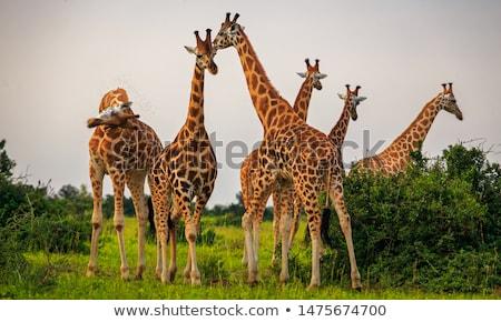 Giraffes (Giraffa camelopardis) Stock photo © dirkr