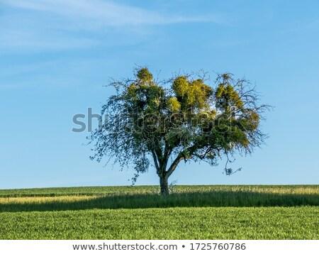 Visco árvore verde paisagem céu água Foto stock © meinzahn