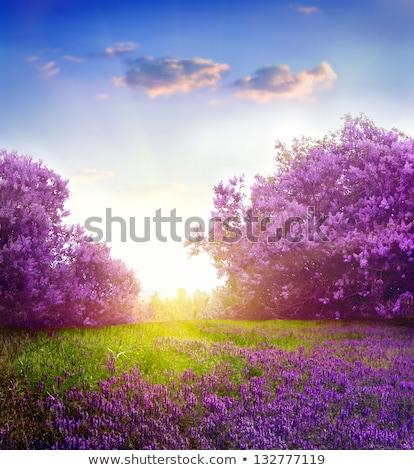 сирень · филиала · свет · весны · дизайна · лист - Сток-фото © peredniankina