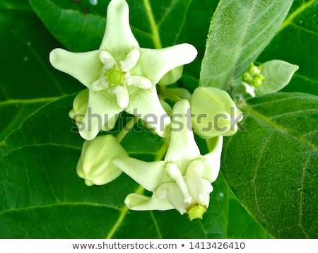 Calotropis gigantea or Medicinal Crown flower Stock photo © bdspn