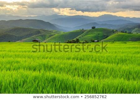 Zöld rizsföld Thaiföld fű Föld mező Stock fotó © FrameAngel