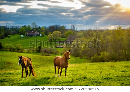 Stock photo: Grazing Chestnut Brown Horse on the Farm
