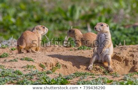 Preria psa piasku ziemi posiedzenia Zdjęcia stock © phakimata