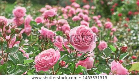 Flor rosa jardim flores parede verão Foto stock © Paha_L