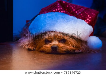 Yorkshire Terrier lying on the floor in dark studio Stock photo © vauvau