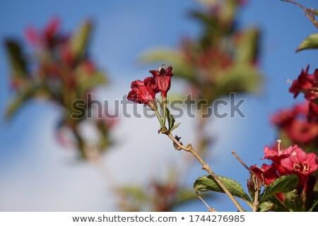 pink weigela tree sky background stock photo © luissantos84