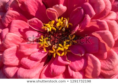Stock photo: Macro photo of a blooming zinia flower. Natural floral layout. Top view