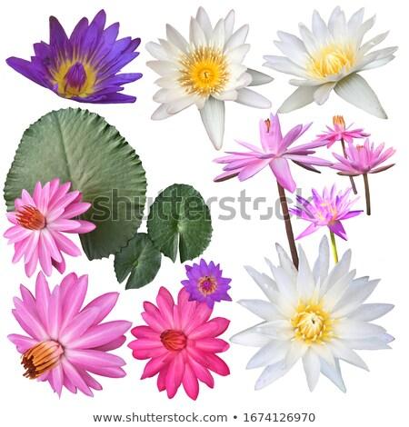 Naturales variedad loto flores hojas establecer Foto stock © Margolana