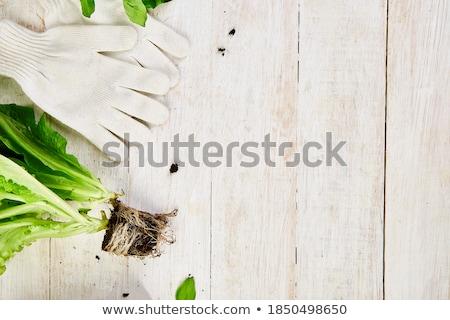 базилик Эко цветочный горшок почвы Сток-фото © Illia