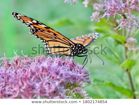 Butterfly opens its wings and feeds  Stock photo © Ansonstock