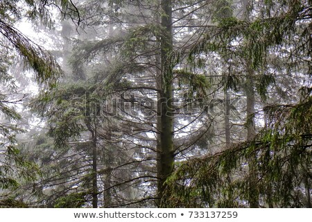 Forest overwhelmed by foggy rain. Stock photo © Klodien