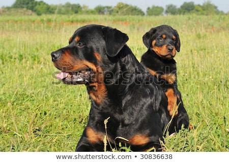 Baba rottweiler anya kutya fajtiszta stúdió Stock fotó © cynoclub