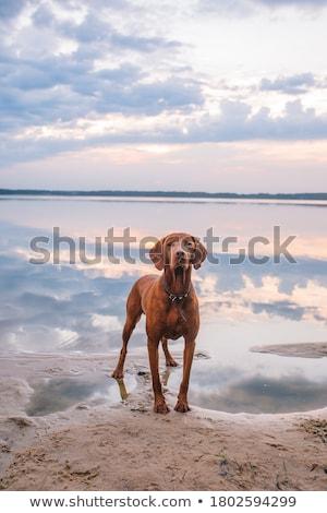 Köpek arka plan beyaz hayvan kesmek Stok fotoğraf © eriklam