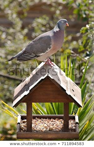Woodpigeon ( Columba oenas ) Stock photo © chris2766